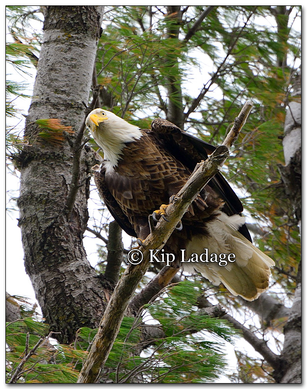 Bald Eagle - Image 251471