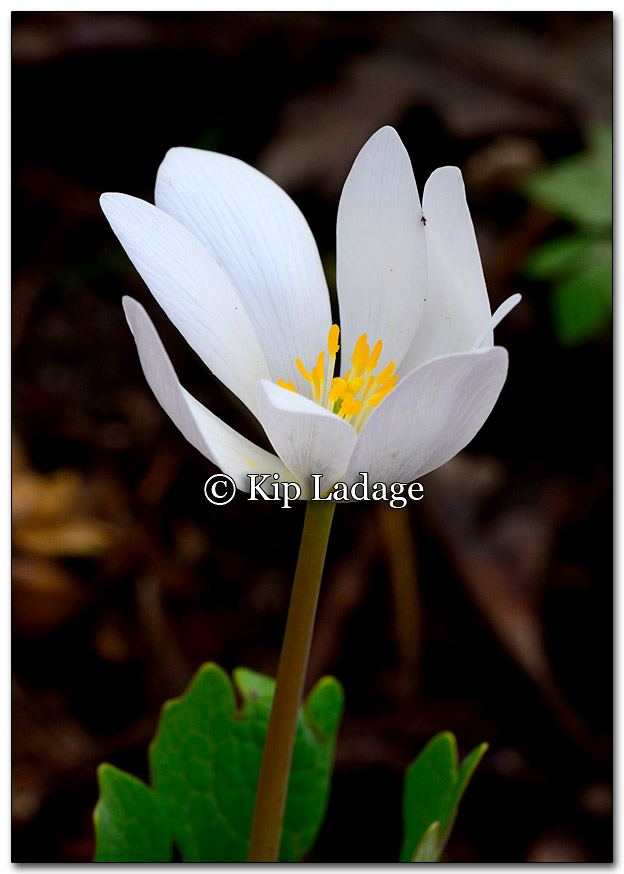 Bloodroot - Image 249694