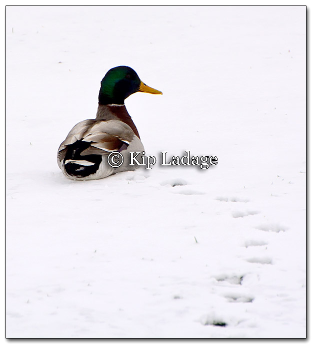 Drake Mallard in Snow at Courthouse - Image 248331