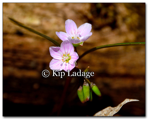 Spring Beauty - Image 250666