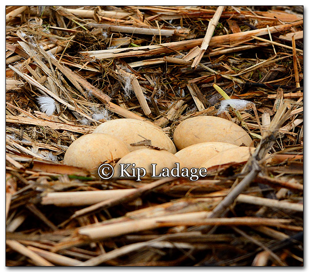 Trumpeter Swan Nest With Eggs - Image 251713