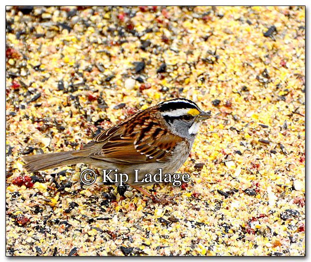 White-throated Sparrow - Image 249927