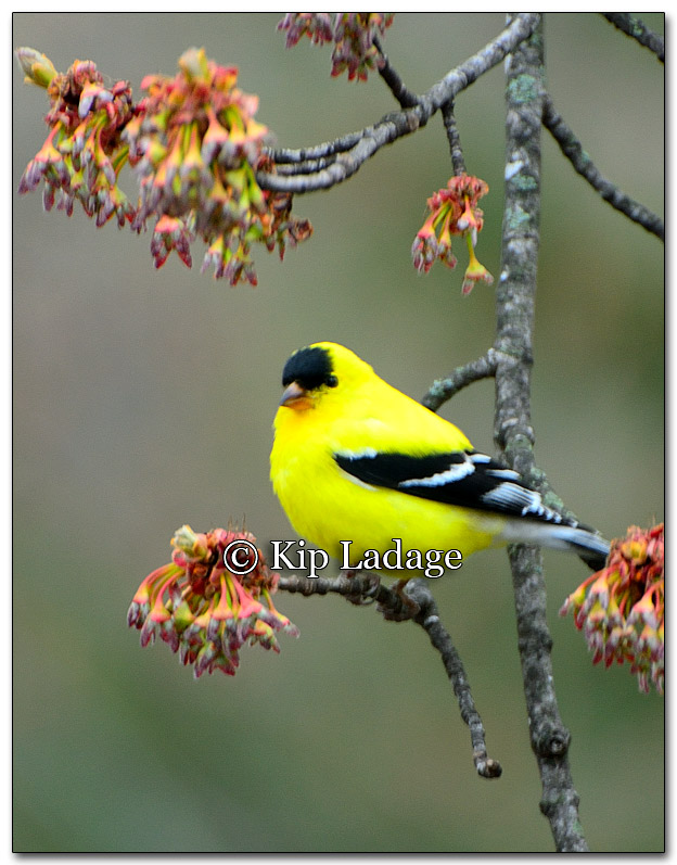 American Goldfinch - Image 251890