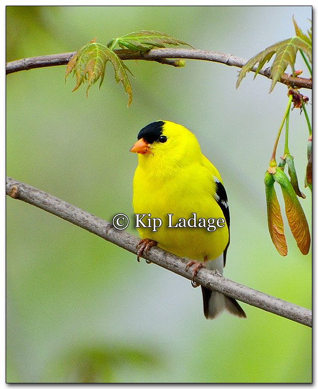 American Goldfinch - Image 254543