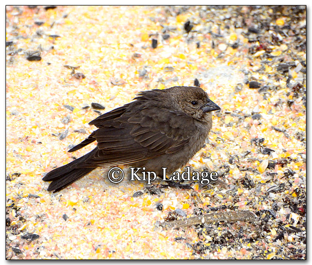 Female Brown-headed Cowbird - Image 251884