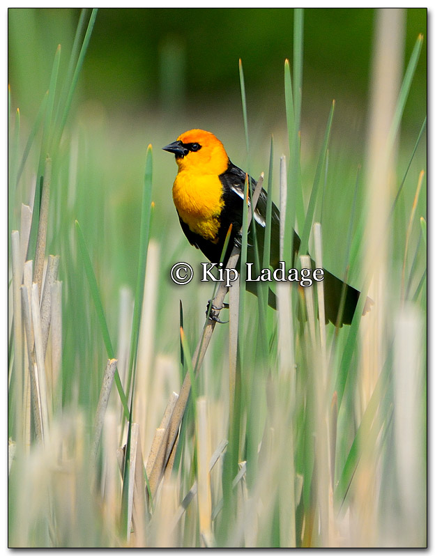 Male Yellow-headed Blackbird - Image 258244