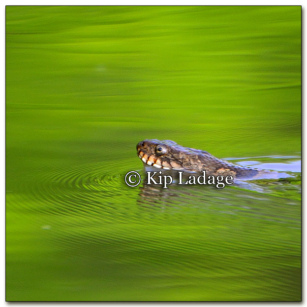 Northern Water Snake - Image 259079