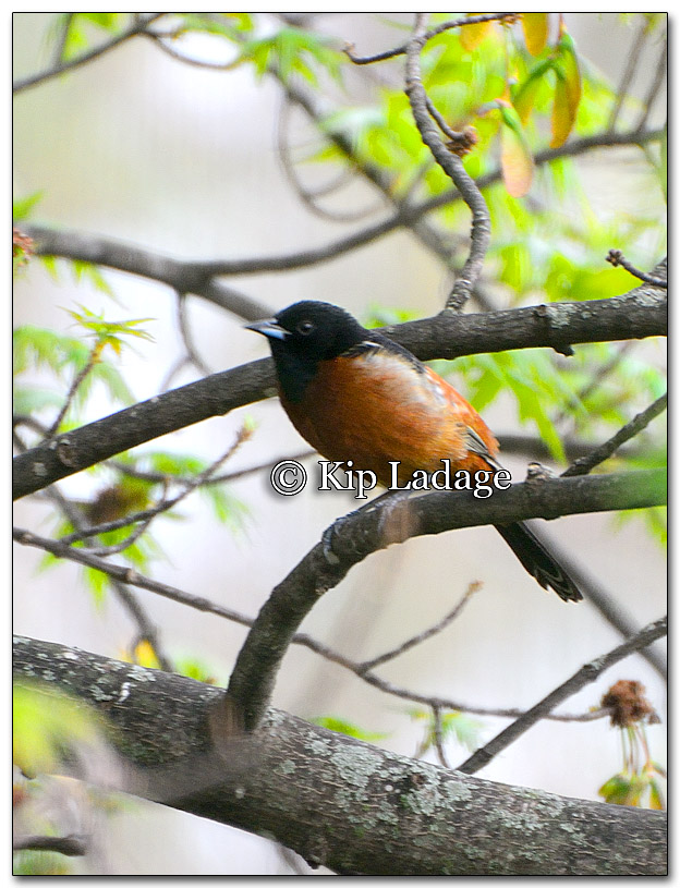 Orchard Oriole - Image 254635