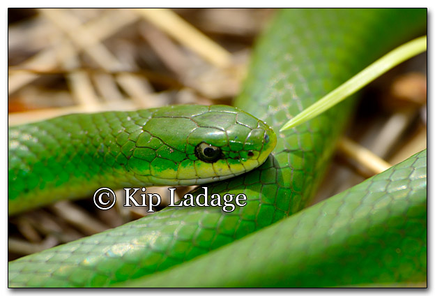 Smooth Green Snake - Image 256842