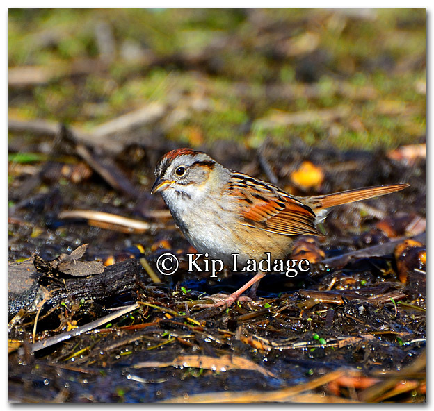Swamp Sparrow - Image 256980