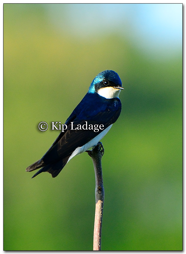 Tree Swallow - Image 260532