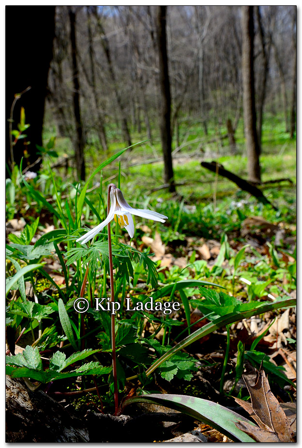 Trout Lily; Dogtooth Violet - Image 252738