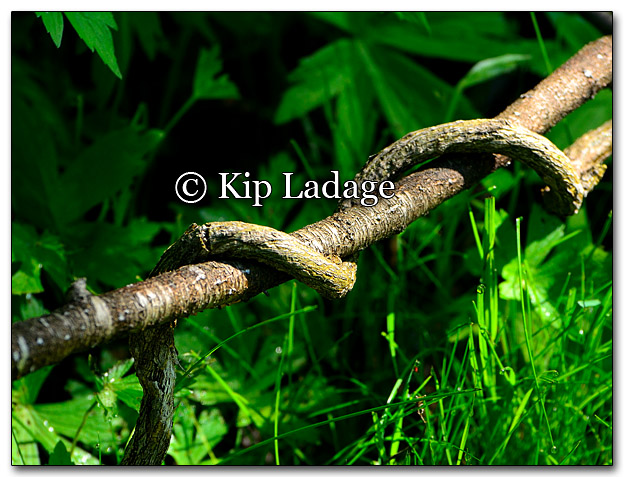 Twisted Snake Branches - Image 260662
