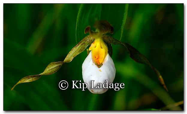 White Lady's Slipper - Image 260764