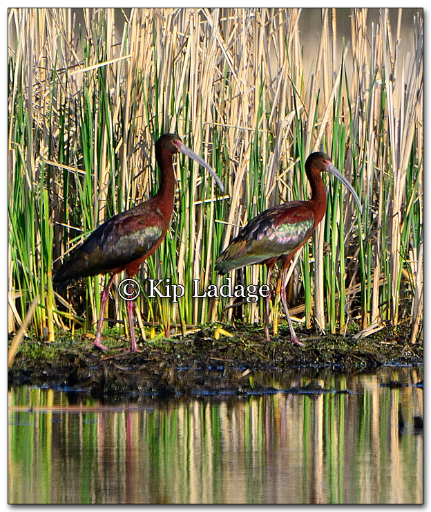 White-faced Ibis - Image 255620
