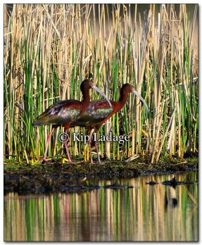 White-faced Ibis - Image 255679