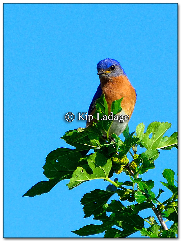 Eastern Bluebird - Image 263364