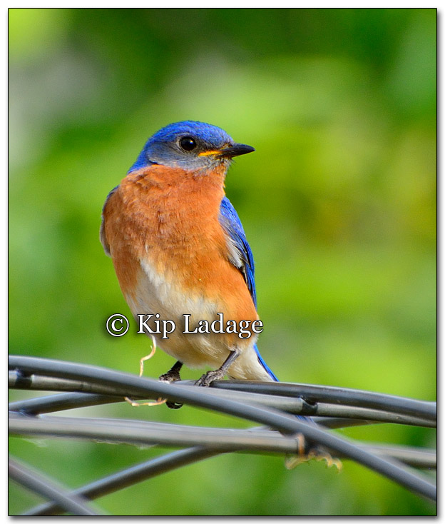 Male Eastern Bluebird - Image 264669