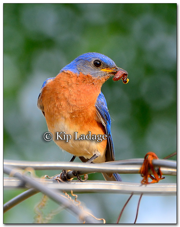 Male Eastern Bluebird - Image 266187