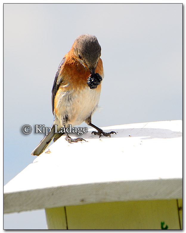 Female Eastern Bluebird Watching Gnats and Ants - Image 267510