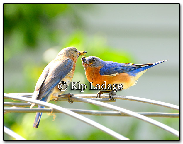 Eastern Bluebirds Passing Insects - Image 267545