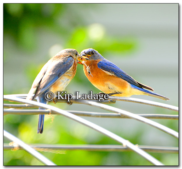Eastern Bluebirds Passing Insects - Image 267546