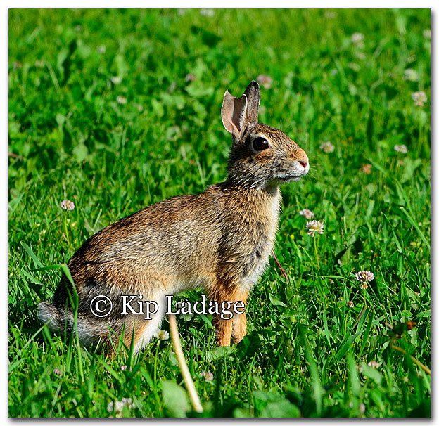 Eastern Cottontail Rabbit - Image 263525