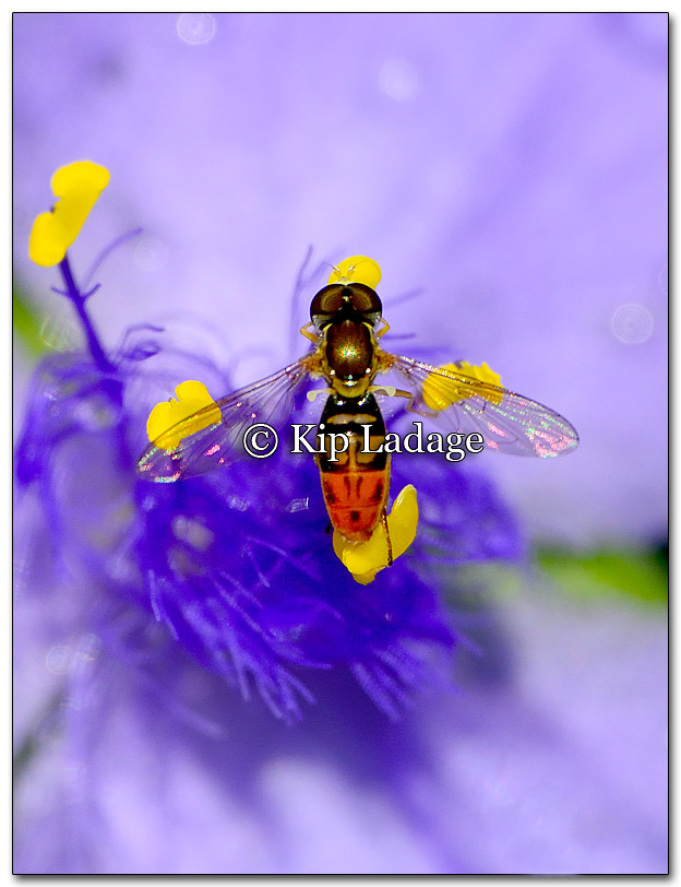 Hoverfly on Spiderwort - Image 267418