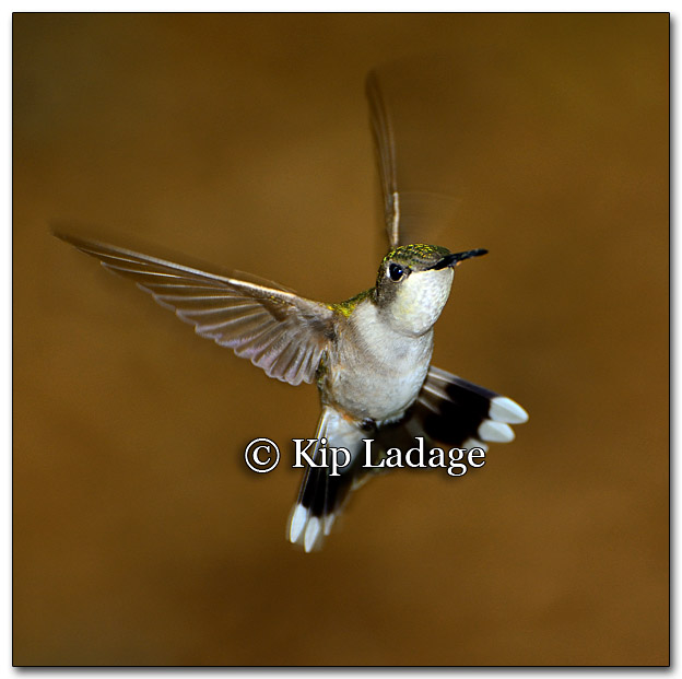 Ruby-throated Hummingbird - Image 261316