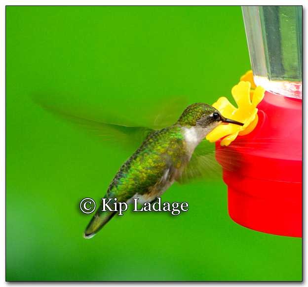 Ruby-throated Hummingbird - Image 263644