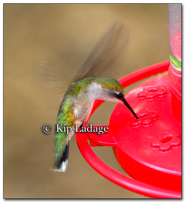 Ruby-throated Hummingbird - Image 264943