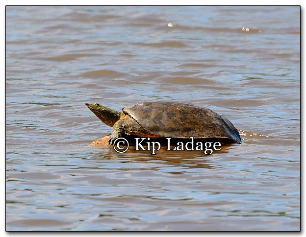 Softshell Turtle - Image 266108