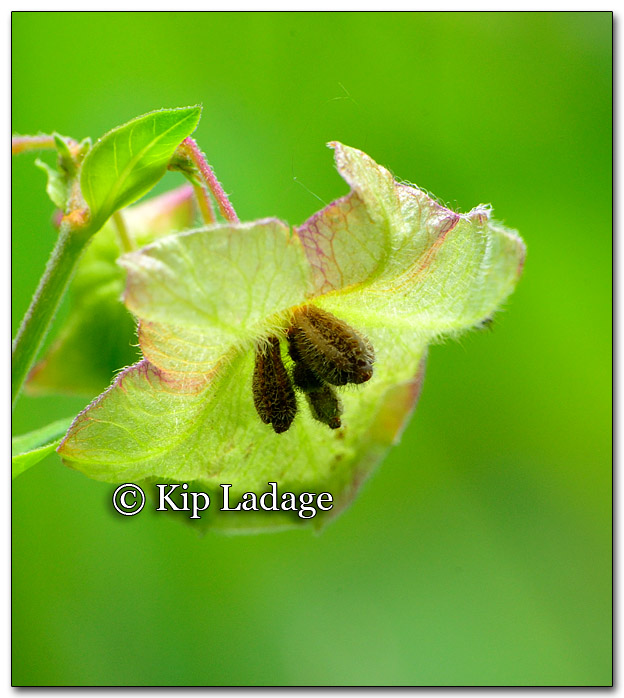 Unidentified Pale Green Blossom - Image 266934