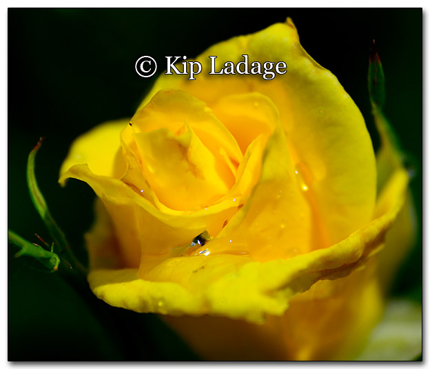Yellow Rose - Image 267350