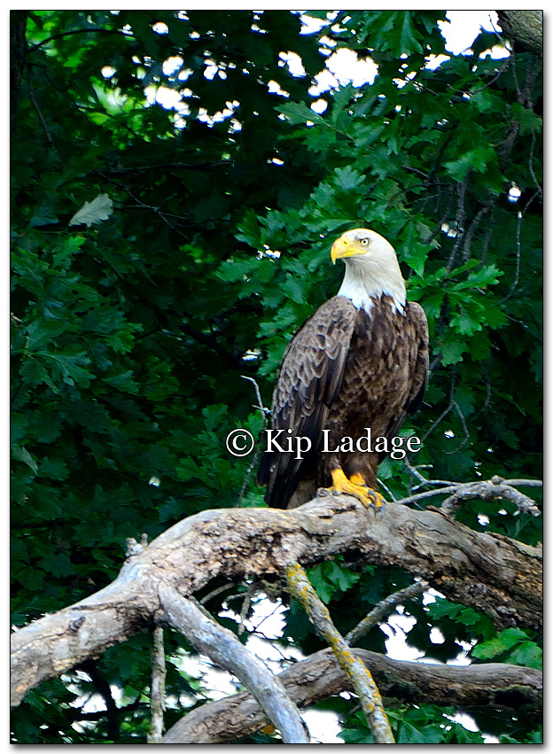 Bald Eagle - Image 268736