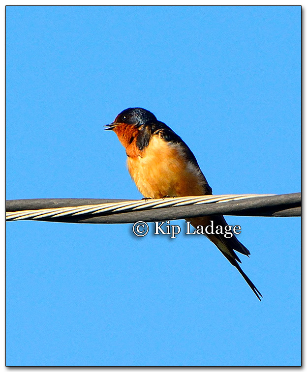 Barn Swallow - Image 270337
