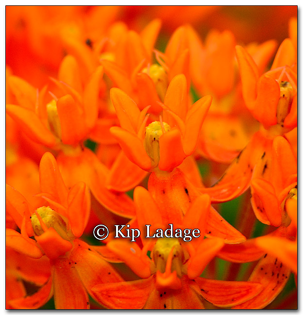 Butterfly Weed - Image 268199