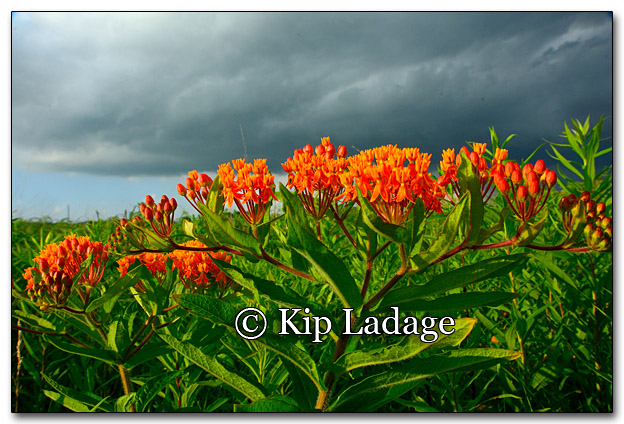 Butterfly Weed and Storm Front - Image 268303