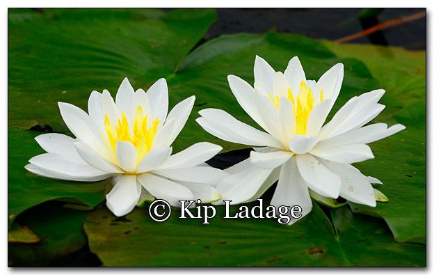 Fragrant Water Lilies - Image 268808