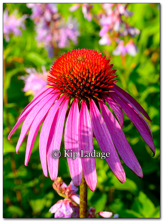 Purple Coneflower in Prairie - Image 270656