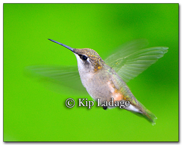 Ruby-throated Hummingbird - Image 270789