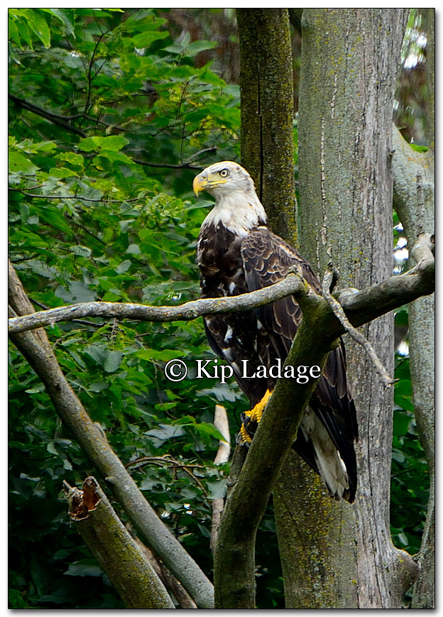 Bald Eagle - Image 273288