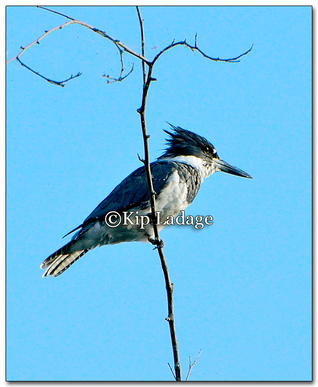 Belted Kingfisher - Image 273214