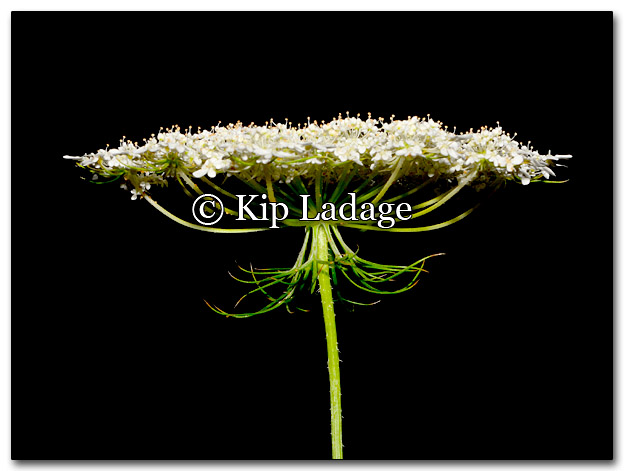 Queen Anne's Lace - Image 272797