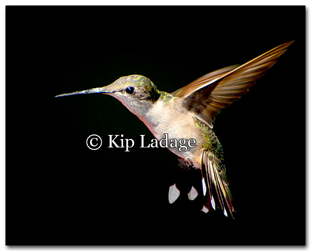 Ruby-throated Hummingbird - Image 277572