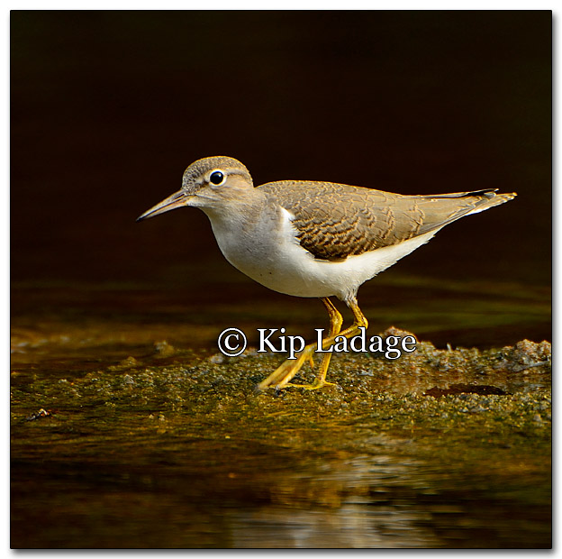 Spotted Sandpiper - Image 274265