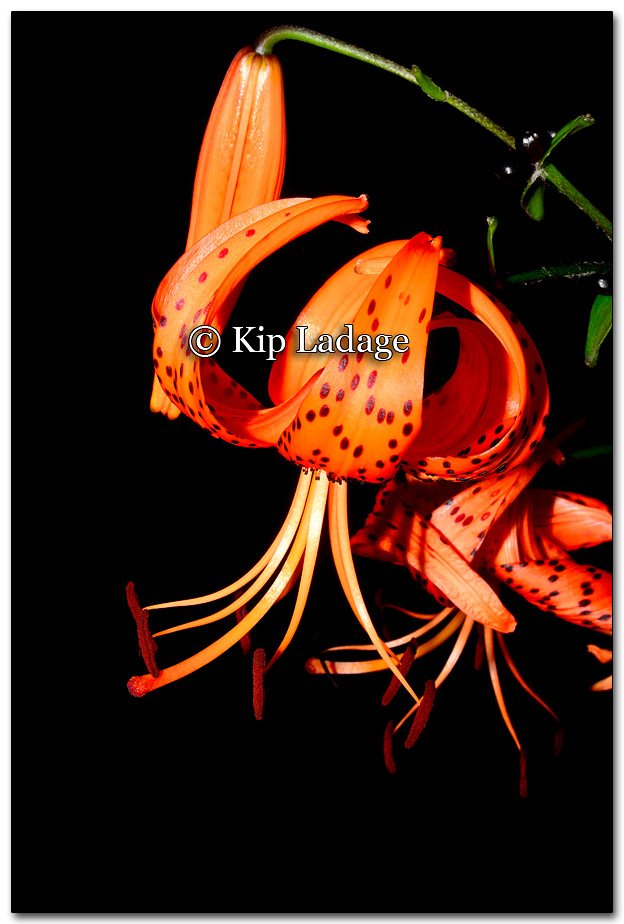 Turk's Cap Lily - Image 272793