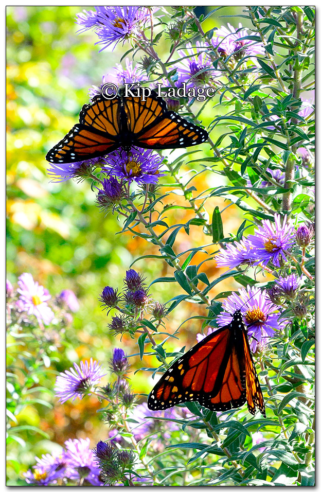 Monarch and Viceroy Butterflies - Image 282069