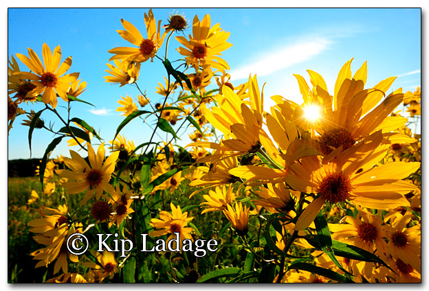 Sunflowers and Setting Sun - Image 279395
