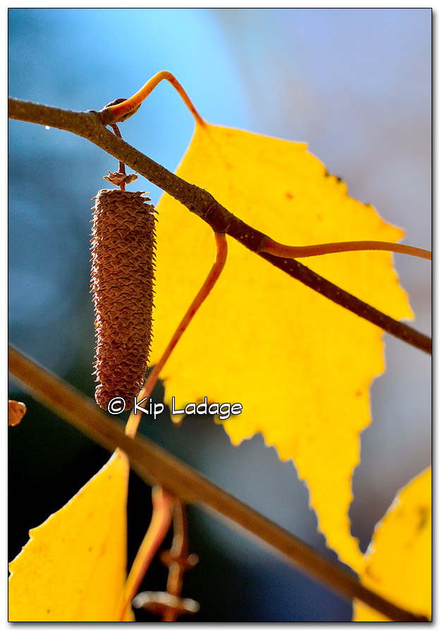 Autumn Birch Leaf and Catkin - Image 286362